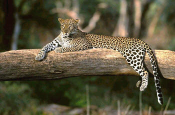 Leopard can be found in the nearby Shimba Hills